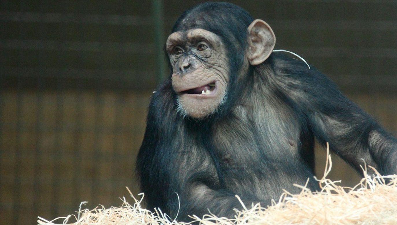 Władze parku znalazł szympansom rozrywkę (fot. Pixabay)
