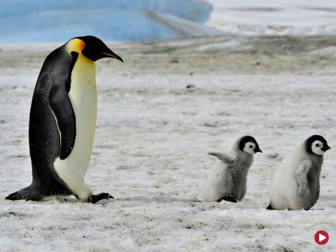 Pingwina, odc. 462