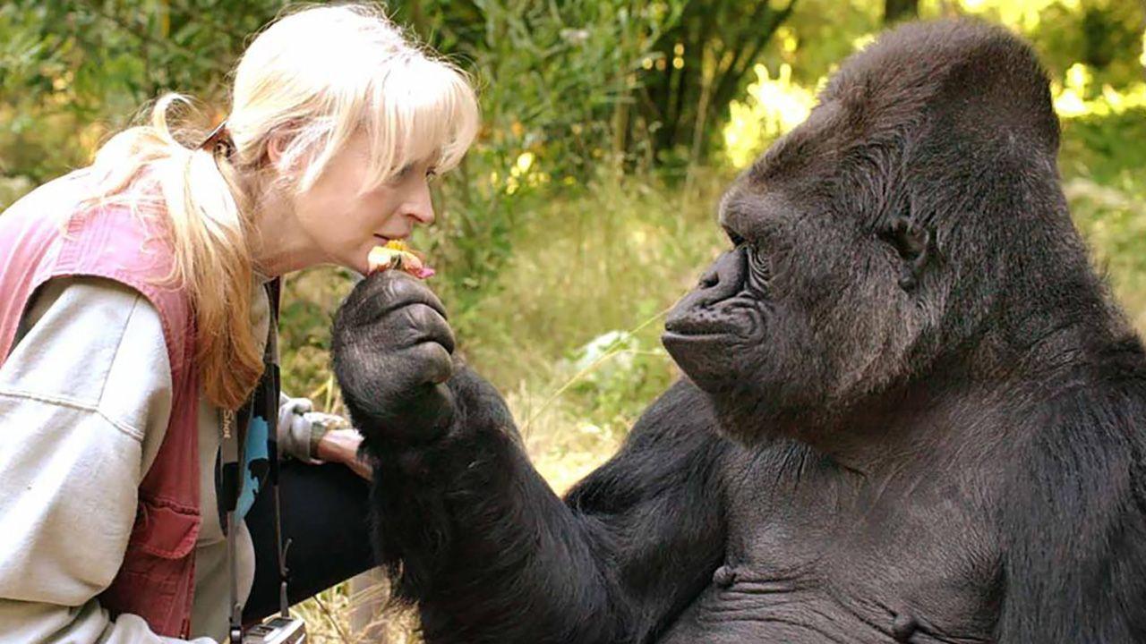 Koko była w stanie zrozumieć ponad 1000 znaków języka migowego i jako pierwsza gorylica na świecie potrafiła wyrażać emocje (fot. TheGorillaFoundation)