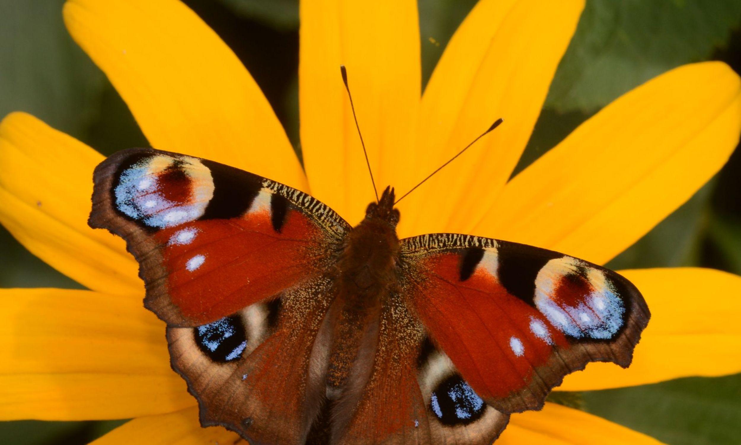 Jesienią widzimy drugie pokolenie tego gatunku, choć jeszcze 30 lat temu ten rusałka pawik był gatunkiem jednopokoleniowym. Na skrzydłach ma charakterystyczne oczy, żeby odstraszać wroga. Często można zauważyć pawiki bez jednego oka na skrzydle, bo jakiś ptak próbował je wydziobać. Samce tych motyli ustanawiają terytoria w ustronnych miejscach i czekają na samicę, więc kopulujące spotyka się wyjątkowo rzadko, tak się sprytnie ukrywają. Fot. Izabela Dziekańska i Marcin Sielezniew