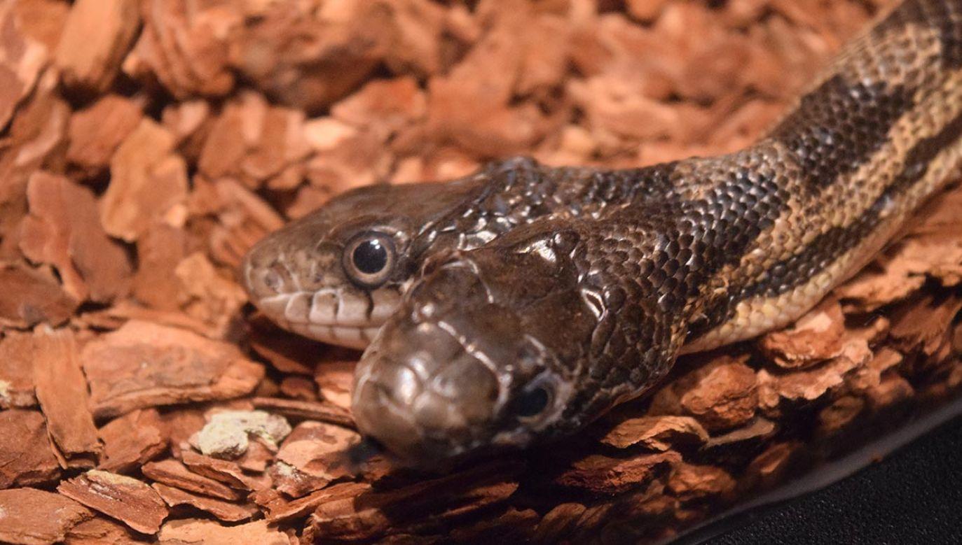 Jak podają naukowcy, obie głowy węża reagują na bodźce i poruszają się, jednak nie zawsze w tym samym kierunku.(fot. Shutterstock/Amare Marketing Group)