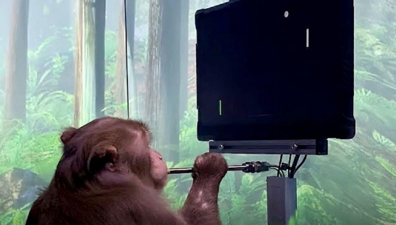 Małpa grała tylko za pomocą swojego umysłu (fot. Neuralink)