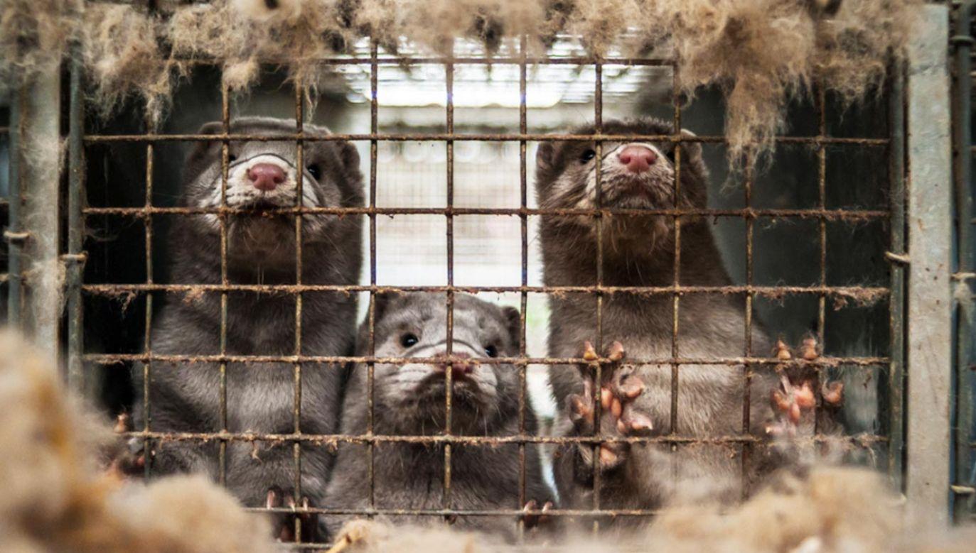 Dania przedłużyła o rok zakaz hodowli norek (fot. shutterstock/Nicolai Dybdal)