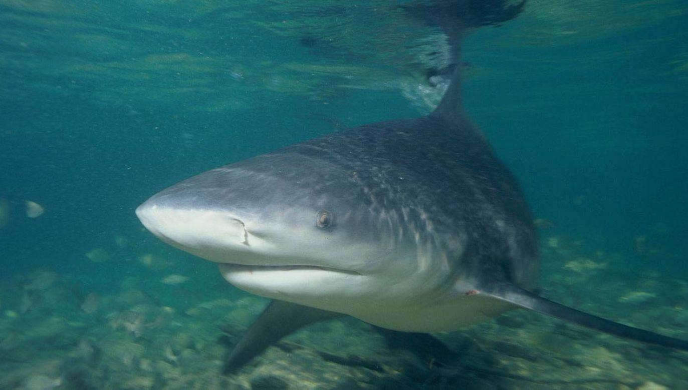 Za atak odpowiada żarłacz tępogłowy (Wiki/ Albertkok)
