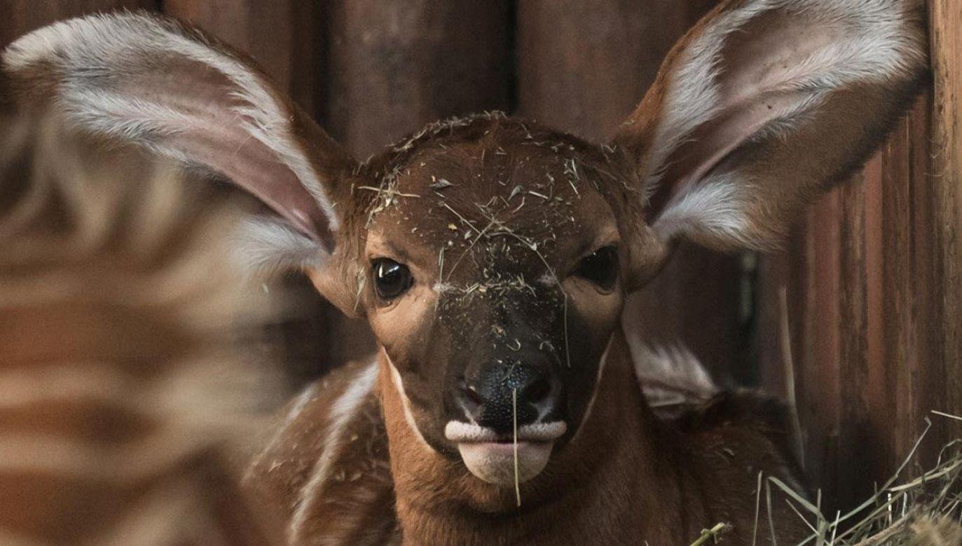 Zoo prosi o pomoc w znalezieniu imienia dla małej antylopy bongo (fot. ZOO Warszawa/Marcin Jezierski)