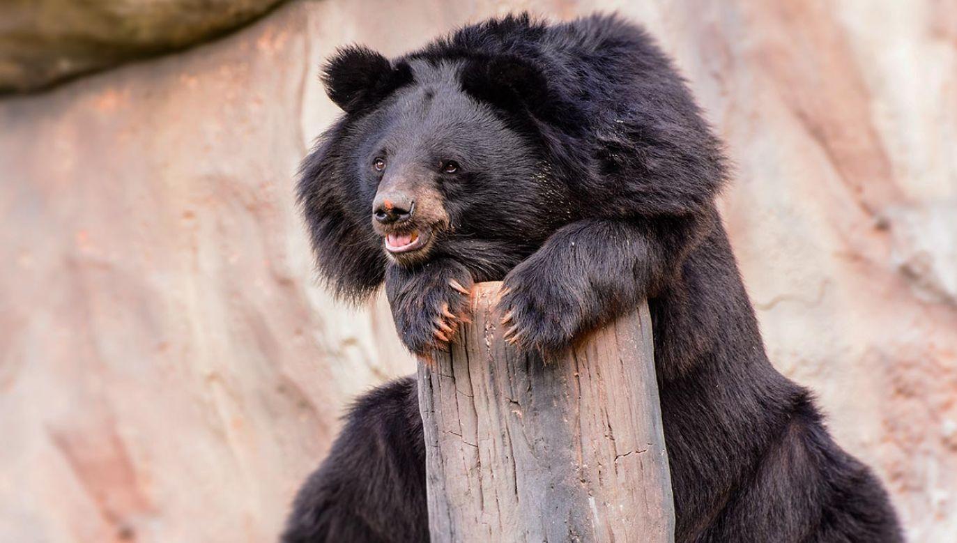 Niedźwiedzie himalajskie osiągają wagę do 150 kg i są uznawane za agresywne.(fot. Shutterstock/Mr.Cheangchai Noojuntuk)