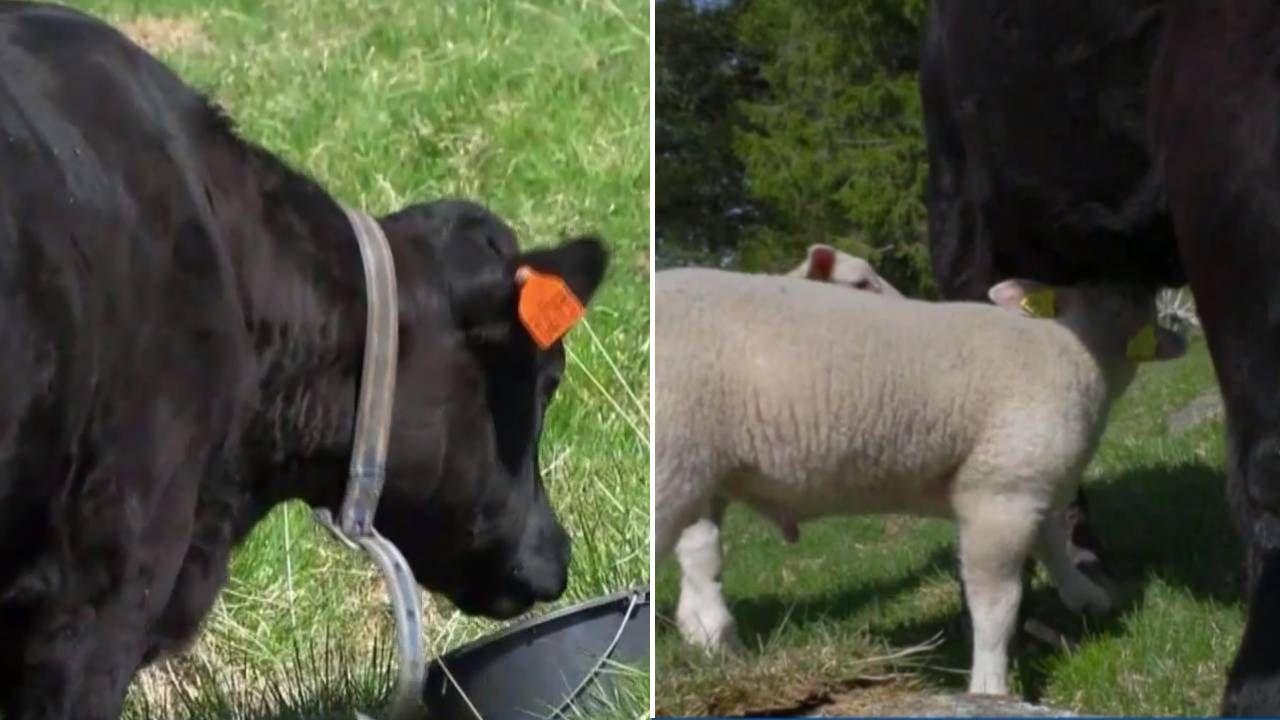 Jagnięta traktują krowę jak matkę (fot.)