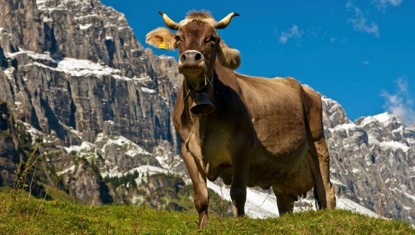 Ranna krowa została transportowana śmigłowcem nad Alpami Szwajcarskimi (fot. Gunter Fischer/Education Images/Universal Images Group via Getty Images)