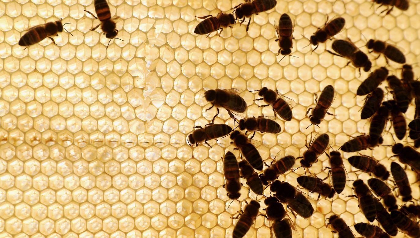 Tańce wywijane i wydzielanie feromonów to nie jedyne sposoby komunikacji pszczół (fot. Yegor Aleyev\TASS via Getty Images)