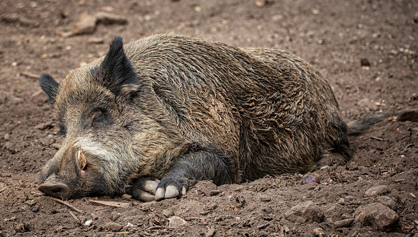Służby weterynaryjne prowadzą jednocześnie akcję informacyjną i kontrolę bioasekuracyjną gospodarstw utrzymujących świnie (fot. Shutterstock/ Botond Horvath)