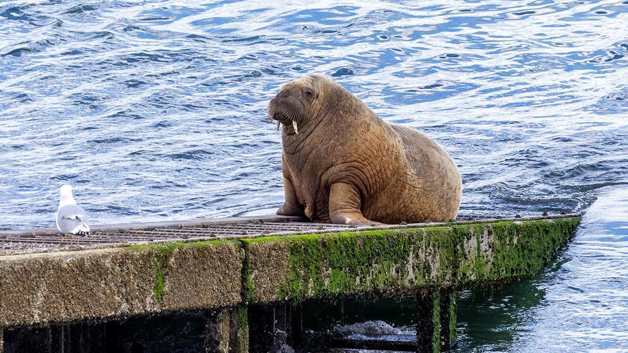Mors Wally jest dumą Norwegów, ale Brytyjczykom spędza sen z powiek (fot. Huw Fairclough/Getty Images)