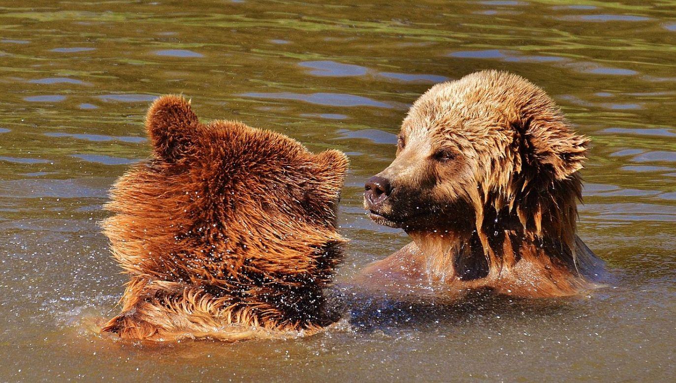 W Gorcach, na terenie nadleśnictwa gdzie znaleziono niedźwiedzia, te zwierzęta   regularnie gawrują (fot. Pixabay/Alexas_Fotos)