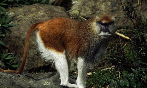 """Jeszcze bliżej koncepcji """"gender"""" są sytuacje ze świata zwierząt, gdy jedna z płci (zazwyczaj samce) obejmuje różne typy osobników wyglądające odmiennie (np. znacznie mniejsze) i mające odmienne strategie reprodukcyjne. Tak jest np. u małp, patasów rudych, u których sporych rozmiarów samce mają haremy, natomiast drobniejsze to spryciarze zdolni zakradać się do owych haremów w celach wiadomych, natomiast nie utrzymujące własnego. Fot. DeAgostini/Getty Images"""