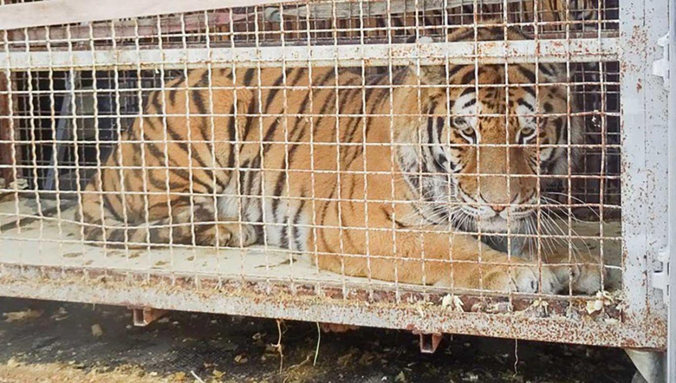 Na granicy utknął transport z tygrysami (fot. Graniczny Inspektorat Weterynaryjny w Koroszczynie)