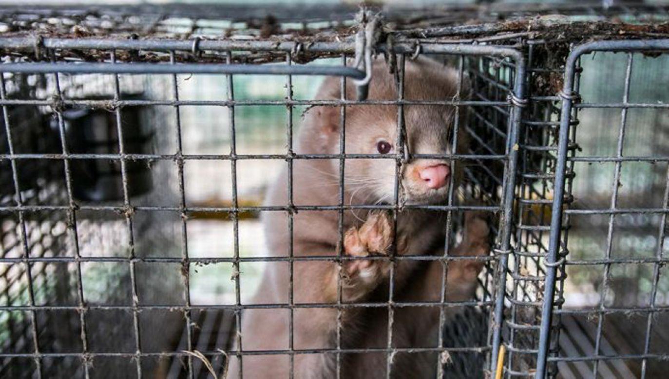 Nowelizacja zakłada m.in. zakaz hodowli zwierząt na futra (fot. Shutterstock/Rokas Tenys)