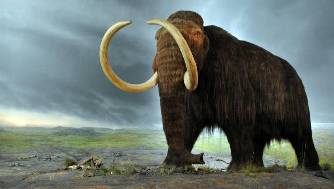 Mamuty wyginęły około 10 tysięcy lat temu (fot. Wiki 2.0/Flying Puffin)