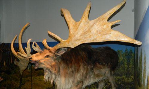 Model jelenia olbrzymiego w Ulster Museum. Fot. Bazonka - Own work, CC BY-SA 3.0, https://commons.wikimedia.org/w/index.php?curid=30008317
