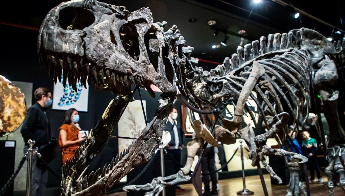 Szkielet dinozaura znaleziono trzy lata temu w stanie Wyoming w USA (fot. PAP/EPA/CHRISTOPHE PETIT TESSON)
