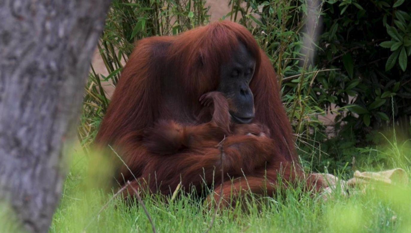 Orangutany sumatrzańskie w zoo (fot. EBU/ Chester Zoo)