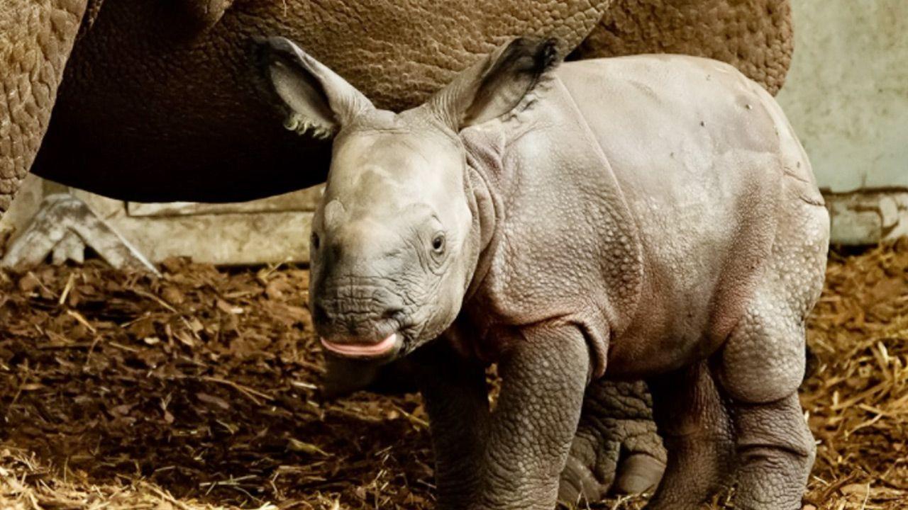 Młody nosorożec otrzyma imię pochodzące z języka hindi (fot. Facebook/ZOO Wrocław)