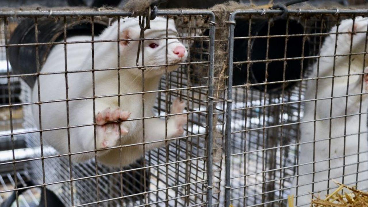 Projekt posłów PiS zakazuje m.in. hodowli zwierząt futerkowych w celu pozyskania z nich futer (fot. Shutterstock/Lynsey Grosfield)