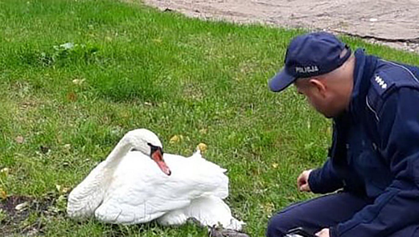Ptaki te w sytuacji zagrożenia, broniąc się mogą wyrządzić człowiekowi poważną krzywdę(fot. Komenda Wojewódzka Policji w Olsztynie)