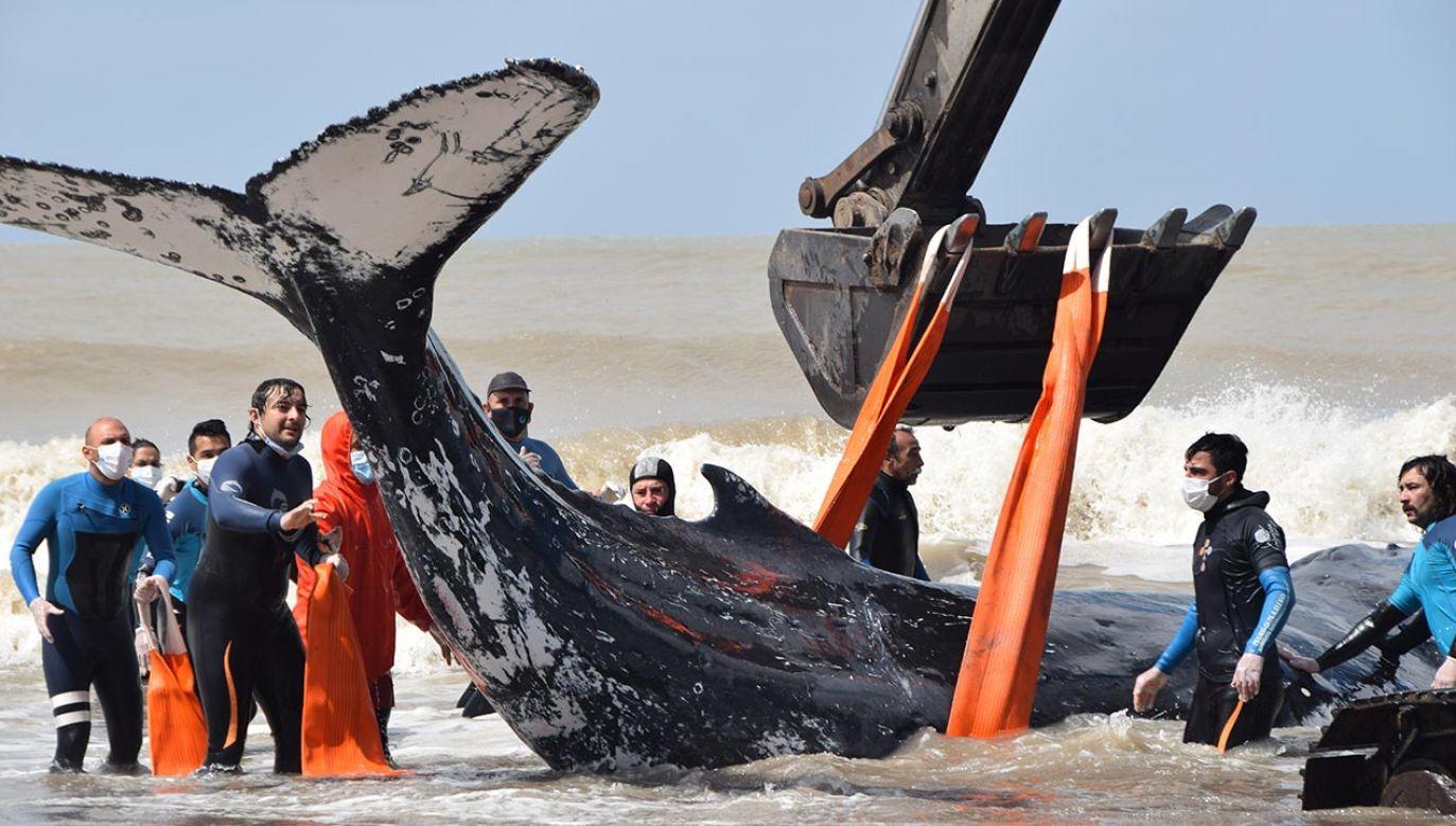 Akcja ratowania humbaka w Argentynie (fot. Forum/Reuters/Mundo Marino)