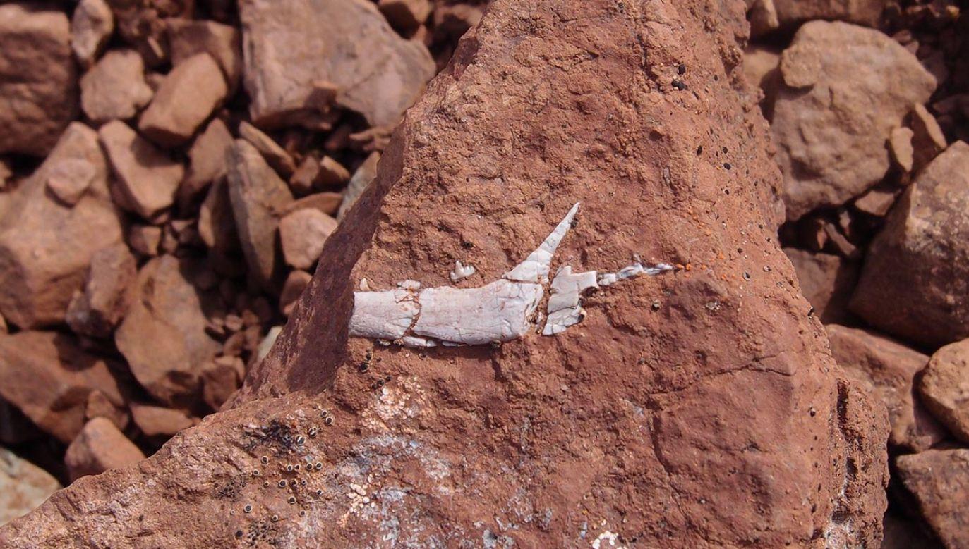 Niewielki fragment żuchwy wiele powiedział naukowcom o budowie prastarego gatunku ssaka (fot. Twitter/en_route_paleo)
