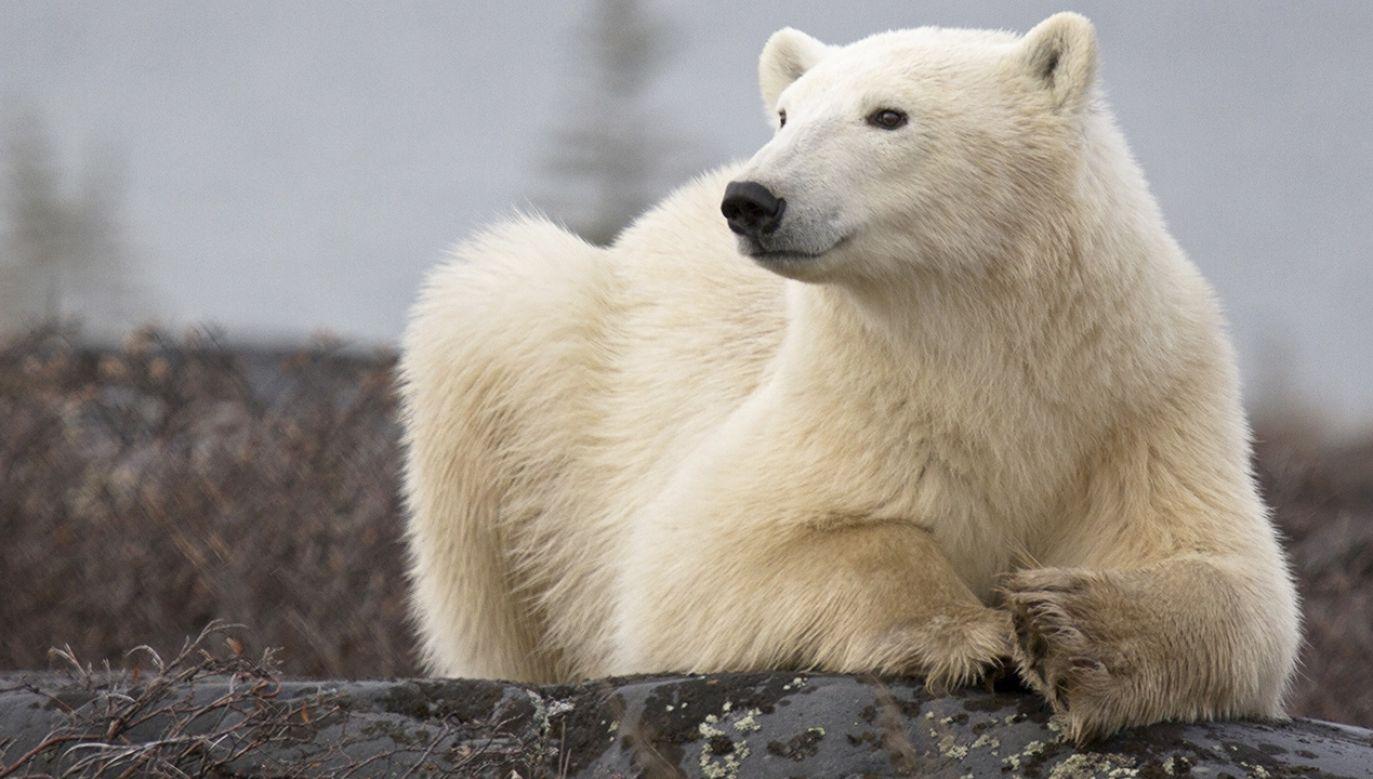 Wychudzony niedźwiedź polarny mógł pokonać trasę od wybrzeży Oceanu Arktycznego do miasta Norylsk (fot. Shutterstock/critterbiz, zdjęcie ilustracyjne)