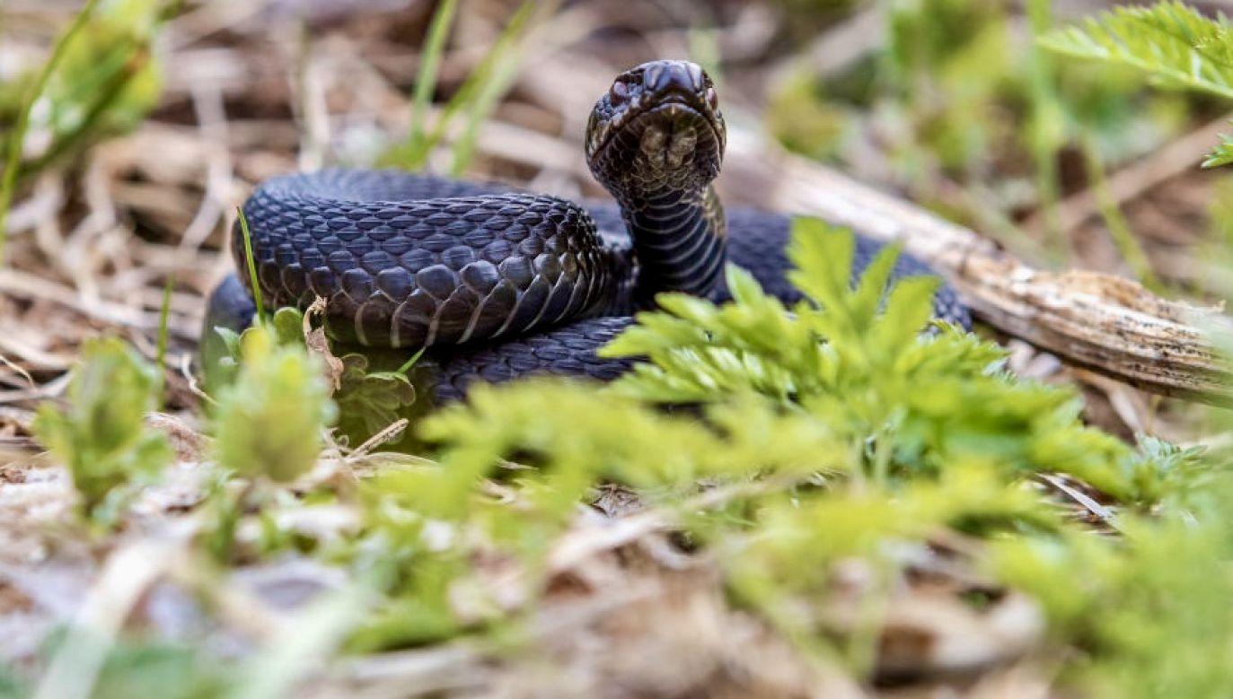 Dziecko zostało ugryzione przez węża w trakcie rodzinnego pikniku w parku (fot. Ilya Timin\TASS via Getty Images)