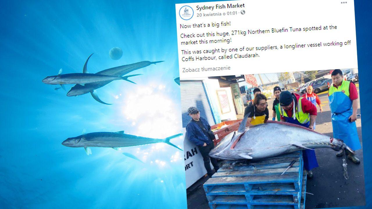 Złowił gigantycznego tuńczyka błękitnopłetwego (fot. Shutterstock; TT)